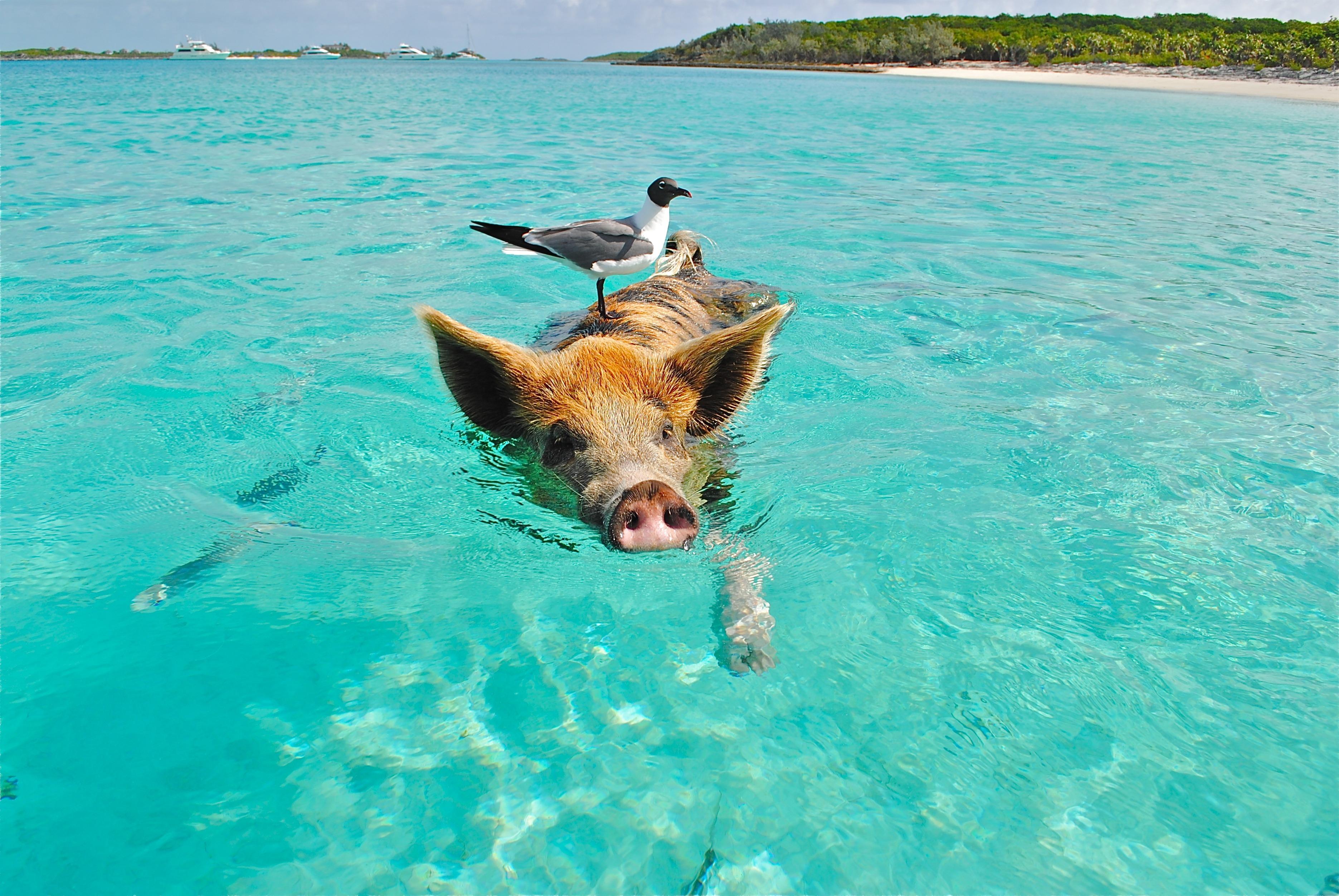 Vogel auf schwimmendem Schwein.
