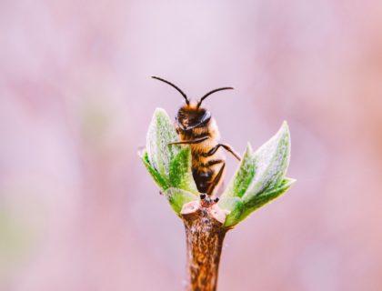 Biene auf Zweig