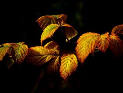 Gefärbte Blätter, schwarzer Hintergrund